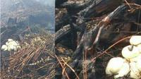 Heboh, penemuan sarang dan telur ular piton di lahan terbakar pangkalan Kerinci. (Riauonline.co.id/Istimewa)