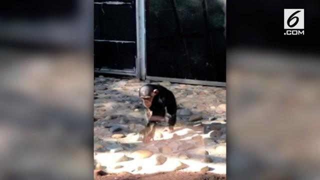 Seekor simpanse memukul 7 ekor anak itik hingga mati di kebun binatang Taronga, Sidney. Insiden itu direkam oleh pengunjung kebun binatang.