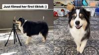 Secret, anjing pintar ini membuat video TikTok pertama kali (Screenshot of Instagram/@my_aussie_gal)