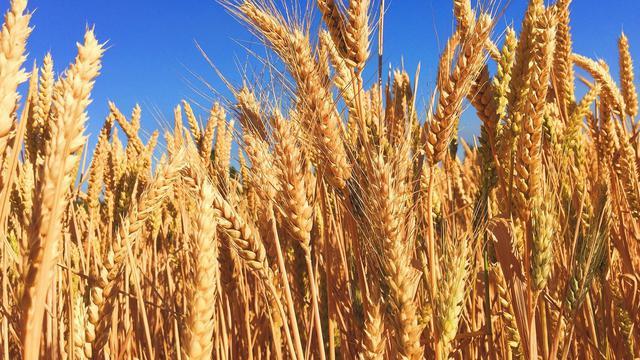 9 Manfaat Biji Barley untuk Kesehatan, Kaya Vitamin dan Antioksidan
