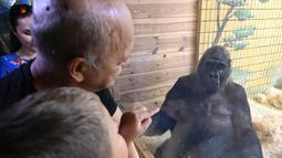 Pengunjung melihat Gorila bernama Tony di kebun binatang Kiev, Ukraina (8/8/2019). Di ulang tahunnya yang ke-45, Tony mendapatkan banyak hadiah dari pihak kebun binatang dan pengunjung. (AFP Photo/Genya Savilov)