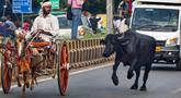 Seekor kerbau liar berlari ketika seorang peserta mengendarai kereta kudanya selama perlombaan tradisional yang diadakan setiap hari Senin di bulan kalender Hindu Saawan di Prayagraj, India, Senin (13/7/2020). Bulan Saawan, bertepatan dengan musim hujan. (AP Photo/Rajesh Kumar Singh)