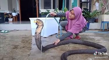 Viral Video Perempuan Mandikan Ular Kobra Ini Bikin Bergidik