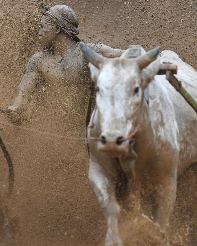 Seorang joki memacu sapinya saat mengikuti