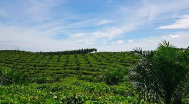 Perkebunan sawit milik masyarakat yang bermitra dengan PTPN V di Riau.