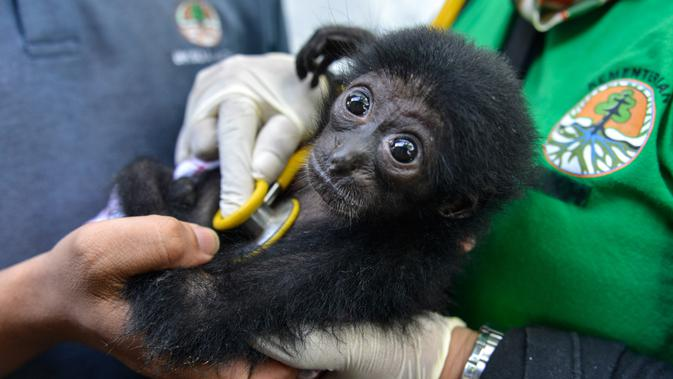 Dokter hewan memeriksa seekor bayi siamang di Balai Konservasi Sumber Daya Alam (BKSDA) Banda Aceh, Aceh, Kamis (1/11). Bayi siamang ini hasil sitaan dari warga. (CHAIDEER MAHYUDDIN/AFP)