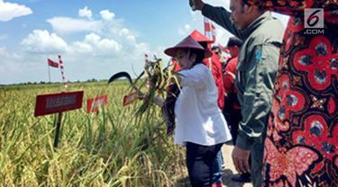Ketua Umum PDI Perjuangan Megawati Seokarnoputri ikut panen raya padi MSP di Indramayu, Jawa Barat, Kamis (4/4). Megawati yakin peneliti dan perekayasa Indonesia memiliki kemampuan untuk menghasilkan penelitian dan inovasi di sektor pangan. (Liputan6.com/HO/Iwan)