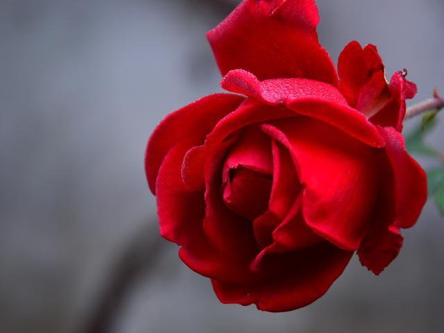 Mengenal Bunga Mawar Dalam Lintasan Sejarah Lifestyle Liputan6 Com
