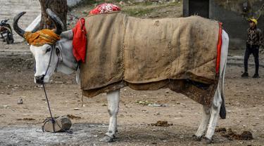Seekor sapi ditutupi dengan karung goni dan selimut di kawasan lama New Delhi, India pada 21 Januari 2020. Hal tersebut dilakukan untuk melindungi sapi agar tetap hangat selama bulan-bulan musim dingin. (Photo by Sajjad HUSSAIN / AFP)