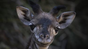 Anak jerapah masai betina berusia dua minggu diperlihatkan ke publik di Kebun Binatang LA di Los Angeles, California (18/10/2019). Kebun Binatang LA belum memberi nama anak jerapah yang lahir dengan tinggi 1,98 cm (6 kaki 6). (AFP Photo/Mark Ralston)