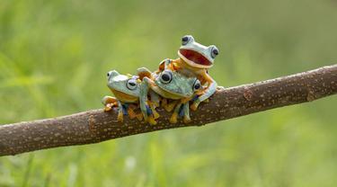 Tiga ekor katak jenis Reinwardt's diabadikan oleh fotograger Hendy Mp, di dekat rumahnya di Sambas, Kalimantan Barat.(dailymail)