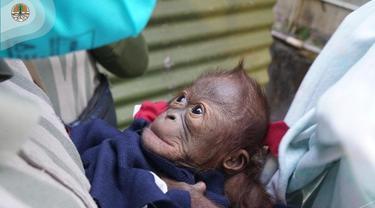 Bayi Orangutan Lahir di Kebun Binatang Gembira Loka Yogyakarta