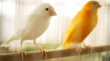 Ilustrasi Burung Kenari