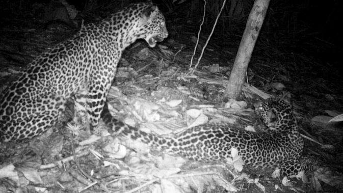 Macan tutul di Nusakambangan tertangkap kamera pengintai pada Oktober 2017. (Foto: Liputan6.com/BKSDA Jateng/Muhamad Ridlo)