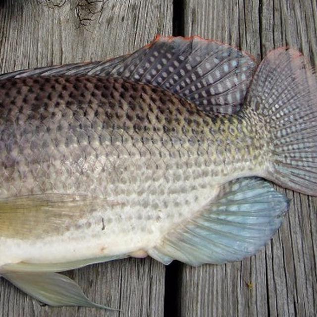 6 Jenis Ikan Yang Sebaiknya Tak Kamu Makan Meski Umum Di Pasaran Citizen6 Liputan6 Com