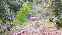 Kawanan gajah yang terpantau di hutan oleh BBKSDA Riau. (Liputan6.com/M Syukur)