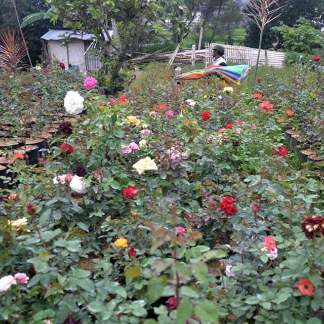 Jelajah Pagi Di Desa Sejuta Bunga Sidomulyo Kota Batu Regional Liputan6 Com