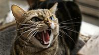 Sejenis parasit dalam tinja kucing ternyata dapat menyebabkan mudah marah pada manusia.