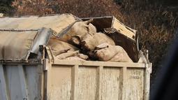 Gambar yang diambil pada 11 November 2019, bangkai babi yang menumpuk di sebuah truk di daerah Yeoncheon dekat perbatasan Korea Selatan-Korea Utara. Pihak berwenang Korsel telah memusnahkan 47.000 babi untuk menghentikan penyebaran demam babi Afrika (ASF). (Yeoncheon Imjin River Civic Network/AFP)