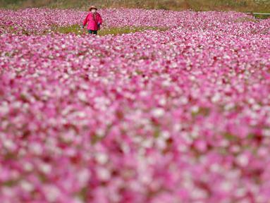 Seorang pengunjung yang mengenakan masker berjalan di ladang bunga cosmos di Paju, Korea Selatan pada 14 Oktober 2020. (AP Photo/Lee Jin-man)
