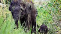 Habitat rusak membuat kawanan gajah merusak 10 hektare kebun sawit di Kampar. (Liputan6.com/M Syukur)