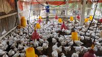 Peternak memberi makan ayam pedaging broiler di kawasan Cipelang, Bogor, Jawa Barat, Selasa (24/7). Tingginya harga daging ayam juga dipengaruhi oleh kenaikan harga pakan yang masih import seiring kenaikan dolar terhadap rupiah. (Merdeka.com/Arie Basuki)