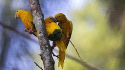 Burung Ararajuba bertengger dalam kandang di Biopark of Rio selama tur media di Rio de Janeiro, Brasil, Kamis (18/3/2021). Biopark of Rio ditutup untuk umum selama renovasi mengubah kebun binatang kota tersebut menjadi pusat konservasi keanekaragaman hayati. (AP Photo/Bruna Prado)