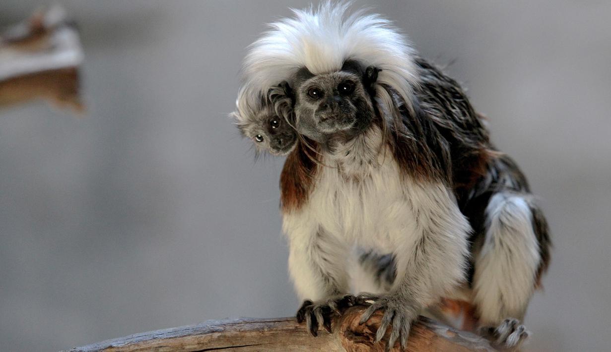 Cotton top tamarin atau tamarin berambut kapas membawa anaknya yang lahir di penangkaran Kebun Binatang Guadalajara, di Jalisco, Meksiko, Rabu (19/2/2020). Cotton-top Tamarin adalah spesies monyet kecil di dunia yang paling terancam punah dan salah satu primata terkecil di dunia. (Ulises Ruiz/AFP)