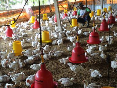 Peternak memberikan makan pada ayam pedaging broiler di kawasan Cipelang, Bogor, Jawa Barat, Selasa (24/7). Harga daging ayam naik mencapi angka Rp 50 ribu per kilogram. (Merdeka.com/Arie Basuki)