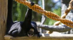 Seekor monyet beristirahat di Biopark of Rio selama tur media di Rio de Janeiro, Brasil, Kamis (18/3/2021). Biopark of Rio akan kembali dibuka untuk masyarakat umum pada akhir Maret. (AP Photo/Bruna Prado)