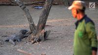 Guide taman nasional berinteraksi dengan seekor komodo di Pulau Rinca, Taman Nasional Komodo, NTT, Minggu (14/10). Pulau Rinca  memiliki luas sekitar 190 Km persegi. (Merdeka.com/Arie Basuki)
