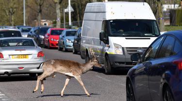 Seekor rusa jenis fallow (Dama dama) melintasi jalan saat Inggris memberlakukan lockdwon di Harold Hill, London, 4 April 2020. Kawanan rusa yang diyakini berasal dari Taman Dagnam itu kini berada di dekat area perumahan yang sepi karena warga membatasi aktivitas di luar rumah. (Ben STANSALL/AFP)