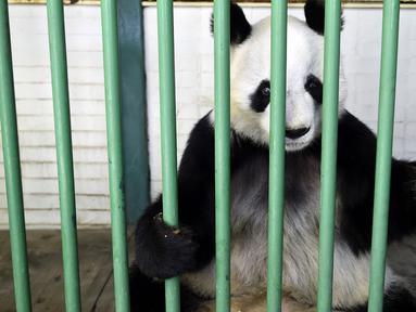 Xin Xin, panda raksasa wanita (Ailuropoda melanoleuca) terlihat selama pemeriksaan fisik di kebun binatang Chapultepec, Mexico City (12/2/2020). Xin Xin dan Shuan Shuan merupakan dua spesimen Hewan yang lahir di Meksiko dan satu-satunya di dunia yang tidak dimiliki China. (AFP/Alfredo Estrella)