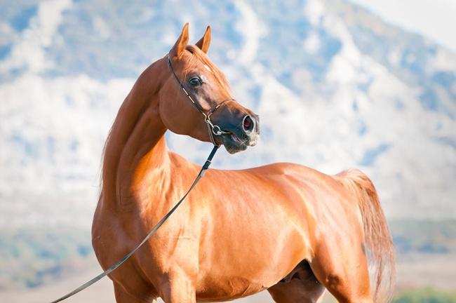 Kuda El Ray Magnum memiliki kepala yang lebih ramping jika dibandingkan dengan kuda pada umumnya/copyright instagram.com/orrionfarms