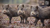 Ilustrasi Foto Babi Hutan atau Celeng (iStockphoto)