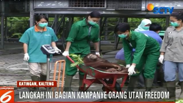 BKSDA Kalimantan Tengah dan Yayasan Borneo Orangutan Survival BOSF Nyaru Menteng, kembali melepasliarkan empat satwa orangutan ke Taman Nasional Bukit Baka Bukit Raya.