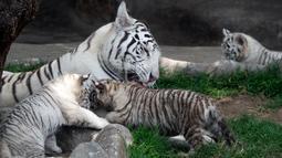 Induk harimau bengal, Clarita bermain dengan tiga anaknya di Kebun Binatang Huachipa, Lima, Peru, Selasa (30/10). Tiga bayi harimau bengal itu merupakan anak Clarita dan pasangannya asal Argentina, Yunga yang juga penghuni bonbin. (Cris BOURONCLE/AFP)