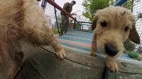 Anak anjing Golden Retriever berusia 50 hari terlihat di sekolah pelatihan anjing polisi Chile di Santiago, 9 Oktober 2018. Dua ratus anjing dari ras yang berbeda mengikuti pelatihan di paru-paru kota Santiago. (Martin BERNETTI/AFP)
