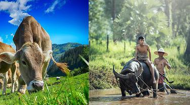 Ilustrasi sapi dan kerbau
