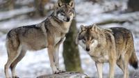 Ilustrasi serigala (AFP)