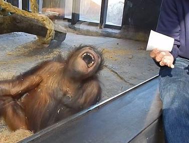 20151210-Lucu, Orangutan Ini Tertawa Ngakak Saat Melihat Permainan Sulap