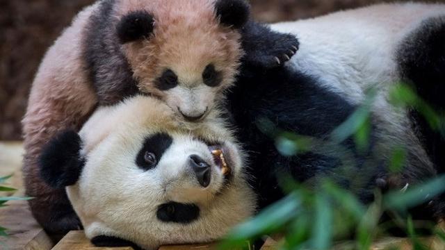 Unduh 78+ Gambar Panda Jatuh Cinta Terbaik Gratis