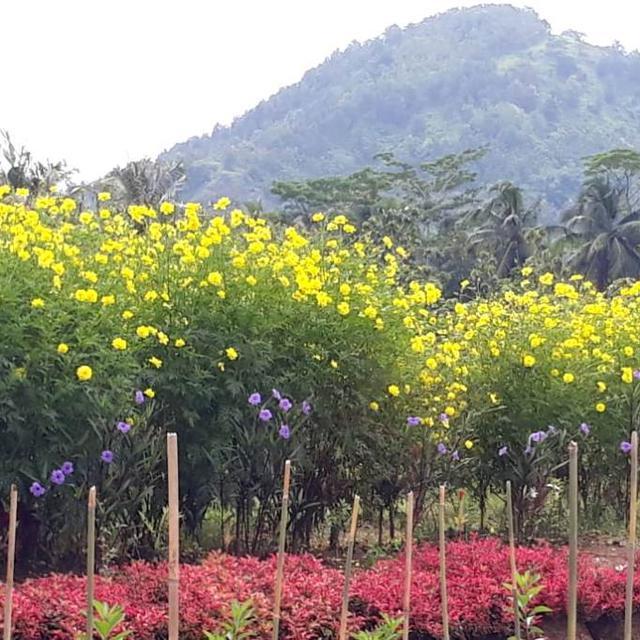 Keren Sawah Petani Banyumas Disulap Jadi Taman Bunga Regional Liputan6 Com