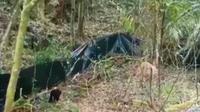 Penampakan Macan Tutul Jawa saat dilepasliarkan di kawasan Gunung Ciremai. Tangkapan layar (Liputan6.com / Panji Prayitno)