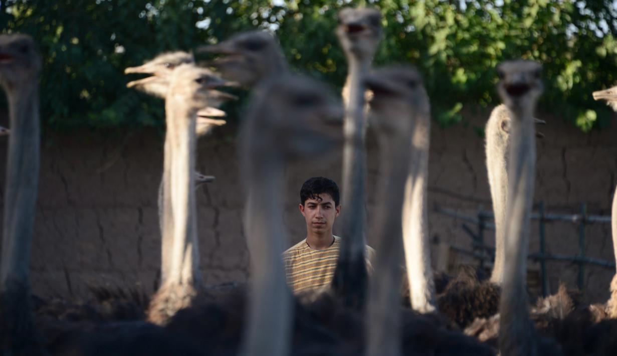 Seorang peternak burung unta berdiri di dekat burung unta di sebuah peternakan di pinggiran Herat, Afghanistan (15/8).  (AFP Photo/Hoshang Hashimi)