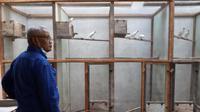 Anggota Komisi VI DPR F-NasDem, Subardi saat meninjau lokasi penangkaran burung, di Desa Margorejo, Kecamatan Tempel, Kabupaten Sleman. (Liputan6.com/ Hendro Ary Wibowo)