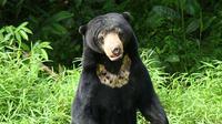 Beruang madu adalah beruang terkecil di dunia diantara jenis beruang lainnya | foto : istimewa