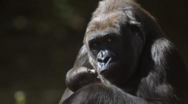 Gorila-Brasil-AFP-20170514