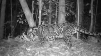 Macan dahan atau dalam bahasa latin, neofelis diardi. Satu dari beberapa spesies kucing hutan di Indonesia yang butuh banyak perhatian.