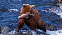 Ilustrasi Beruang (istockphoto)